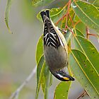 Striated pardalote by Jennie  Stock