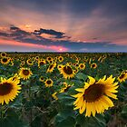 Sunflower Sunset by Ryan Wright