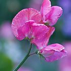 Sweet Pea in Pink  by DIANE  FIFIELD