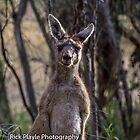 A Kanga's Thoughts by Rick Playle
