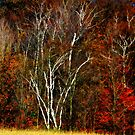 Birch trees in Fall by Larry Llewellyn