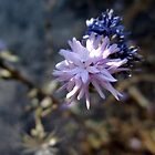 Lessingia by Chris Gudger