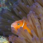 Pink Anemonefish in Anemone by Mark Rosenstein