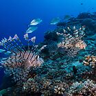 Lionfish Cruising the Reef by Mark Rosenstein