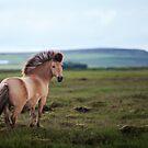 Icelandic Pony by deserttrends