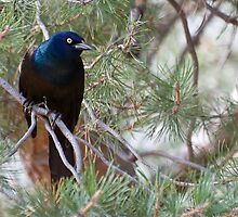 Common Grackle by Eivor Kuchta