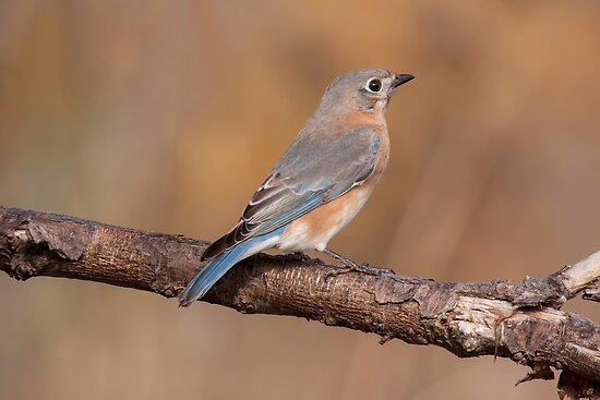 Eastern Bluebird ll by withacanon