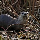 River Otter. by Rafal Antoniuk