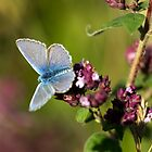 The Common Blue by John Gaffen