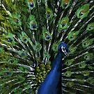 Peacock Feathers by LucyOlver