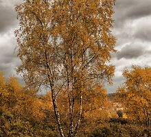 Silver birch in autumn clothing by Judi Lion