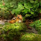 Chipmunk - What a cutie  by Mike  Savad