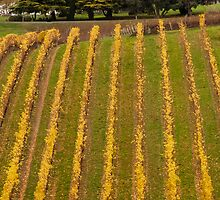Vineyard in Autumn by DPalmer