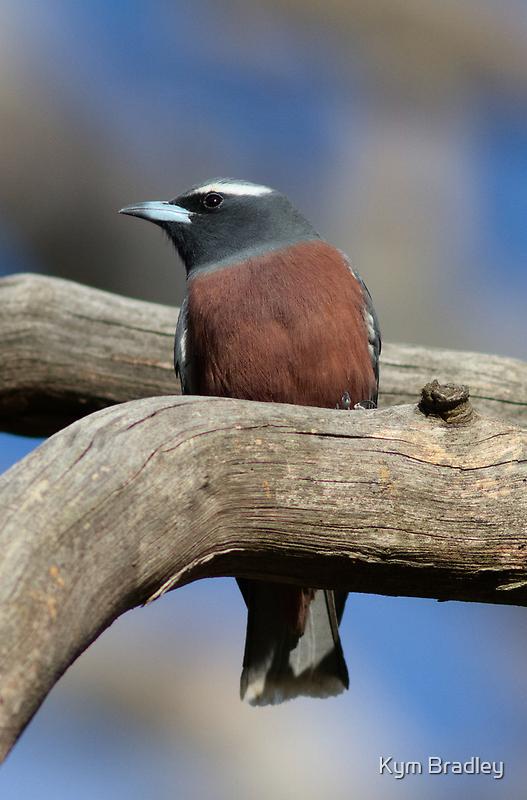 Male  White-Brow Wood Swallow by Kym Bradley