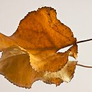 Seeing Double Autumn Leaf  by Sandra Foster