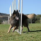 Belgian Tervueren weaving in Agility by Belgian Shepherd Dog Club of QLD Inc