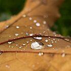 Dew on Maple Leaf by David Barnes