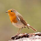 Robin by David Barnes