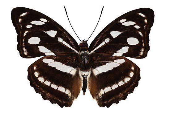 butterfly species Athyma reta moorei common name malay staff sergeant    Butterfly Species Names