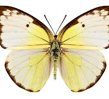 "Butterfly species Catopsilia pomona ""Lemon Emigrant"" by Pablo Romero"