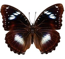 "Butterfly species Hypolimnas bolina ""Great Eggfly"" by Pablo Romero"