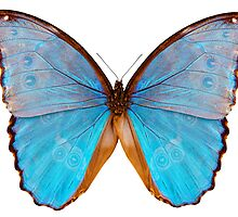 Butterfly species Morpho godarti assarpai by Pablo Romero
