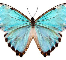 blue butterfly species Morpho portis thamyris by Pablo Romero