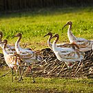 Seven DAR Whooping Cranes by Thomas Young