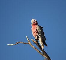 Galah On a Stick by Nick Delany