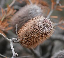 Banksia Combes, Tasmania. by Nick Delany