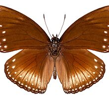butterfly species Hypolimnas anomala wallaceana by Pablo Romero