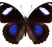 "Butterfly species Hypolimnas bolina phillippensis ""Great Eggfly"" by paulrommer"