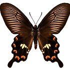 "Butterfly species Pachliopta aristolochiae antissa ""Common rose"" by paulrommer"