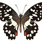 """Butterfly species Papilio demoleus """" Lemon Butterfly"""" by paulrommer"""