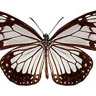 Butterfly species Parantica vitrina by paulrommer