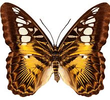 """Butterfly species Parthenos sylvia """"Clipper butterfly"""" by paulrommer"""
