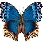 """Butterfly species Salamis temora """"Mother-of-Pearls butterfly"""" by paulrommer"""