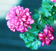 Pelargonium 6. by MQ20