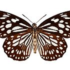 "Butterfly species Tirumala limniace ""Blue Tiger"" by paulrommer"