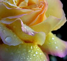 Shayley's rose by gaylene