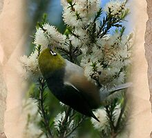 A Silvereye Sipping Nectar by Wilderful