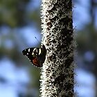 Exanthorrhoea's Attract Butterfly's. Warrumbungles Nat. Park. by Rita Blom