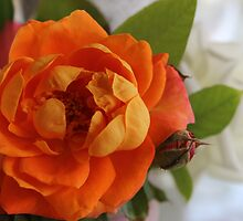 Apricot rose by Jeannine de Wet