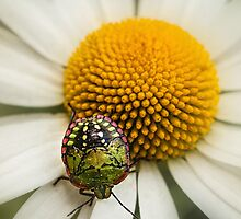 Colorful stink bug by Celeste Mookherjee