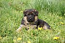 Puppy in Spring Yard by Sandy Keeton