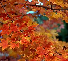 Autumn Sunburst by Diana Graves Photography