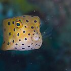 Juvenile Yellow Boxfish by Mark Rosenstein