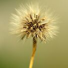 Dandelion by Annie Lemay  Photography