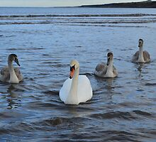 Adult Swan With Three Juveniles by adrianwale