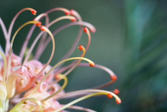 Grevillea Portion by jayneeldred